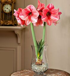 Did you know that amaryllis will grow happily in water? It's true, and with suitable care of amaryllis in water, the plant will even bloom abundantly. Indoor Flowers, Water Flowers, Bulb Flowers, Water Plants, Indoor Plants, Growing Flowers, Planting Flowers, Orquideas Cymbidium, Indoor Water Garden