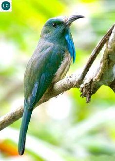 https://www.facebook.com/WonderBirdSpecies/ Blue-bearded bee-eater (Nyctyornis athertoni); Indian subcontinent and Southeast Asia; IUCN Red List of Threatened Species 3.1 : Least Concern (LC)(Loài ít quan tâm) || Trảu râu xanh; Tiểu lục địa Ấn Độ và Đông Nam Á; HỌ TRẢU - MEROPIDAE (Bee-eaters).