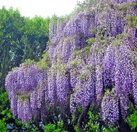 The cascading beauty of Wisteria can enhance every garden. Discover more Wisteria varieties, in tree & vine form, from White Flower Farm. Flowering Trees, Trees And Shrubs, Clematis, Beautiful Gardens, Beautiful Flowers, Wisteria Tree, Purple Wisteria, La Dordogne, White Flower Farm