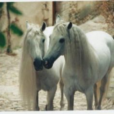 Beautiful andalusians!