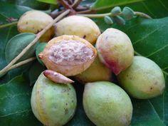 Almond Fruit-Caribfruits - Amande / Fruits des AntillesCaribfruits - Amande / Fruits des Antilles