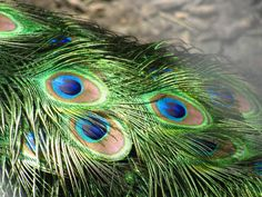"""Short Real Natural Genuine Peacock Feathers Arts Crafts """"Eye"""" Costume Project"""