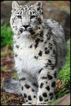 baby snow leopard….
