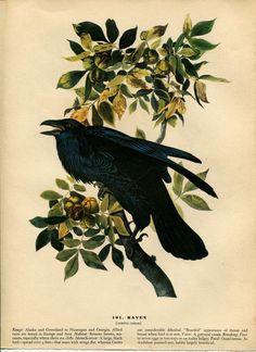 Audubon's Raven can be found in many forms: affordable reproductions, high-end prints, originals that cost thousands and this page cut from a 1941 book.