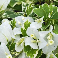 Looking to attract hummingbirds to your garden next year? Check out the Vanilla Ice Bougainvillea. It has white and green variegated foliage with classic-white flowers that  will continually re-bloom all season long! The Vanilla Ice needs full sun and is super easy to grow and care for (can be grown as a houseplant too).   #vanillaice #bougainvillea #paperplant #hummingbirds #rooftopgarden #smallspacegarden #urbangarden #apartmentgarden #homegarden #gardeningtips #growjoy How To Attract Hummingbirds, Attracting Hummingbirds, Gardening For Beginners, Gardening Tips, White Flowers, Beautiful Flowers, Paper Plants, Sun Garden, Home Landscaping