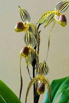 Paphiopedilum orchid #plantasdecorativas