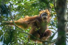 Picture of a male Sumatran orangutan. A male Sumatran orangutan challenges a rival by baring his teeth and shaking branches. Now recognized as a distinct species, Sumatran orangutans number around 14,000 in the wild.