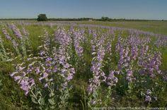 A profusion of penstemon in restored sandhill prairie at The Nature Conservancy's Platte River Prairies.