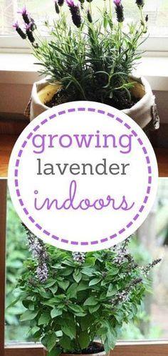 Indoor Vegetable Gardening, Home Vegetable Garden, Organic Gardening, Container Gardening, Garden Plants, Gardening Tips, House Plants, Urban Gardening, Growing Lavender Indoors