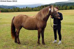Nordland Horse / Lyngen Horse - mare Mindlands Massi