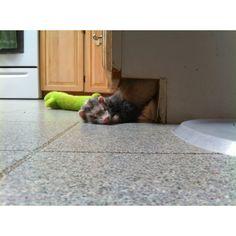 Sleepy ferret.