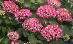 Schönere Hortensien: Die besten Tipps unserer User