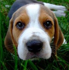 Beagle...who could imagine that little black nose could get into so much trouble!!!