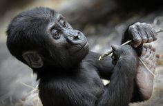 One-year-old male gorilla Ajabu Baby gorilla at Prague Zoo, Czech Republic (Picture: Slavek Ruta/REX/Shutterstock)
