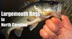 Ken Tanaka of Wish4Fish is back for the 2015 season.  I had a small window of time to get out on the water the other day and went out for some Largemouth Bass in North Carolina.    In this video I showed a example of how and where to find Largemouth Bass.  As well as what I was using.    Here I was using a Shimano Citica baitcaster with the new Shimano Clarus rod.  7ft. Med. Power Fast Action.  I had it lined with braided 20lb Power Pro line and was using a Rapala XR-8 crankbait.  W4F…