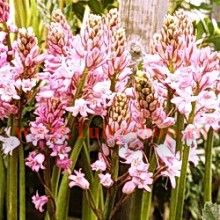 Spanish bluebells - in adorable pink May Flowers, Types Of Flowers, Summer Flowers, Spanish Bluebells, Bulbs For Sale, Allium, Shade Plants, Sparklers, Pretty In Pink