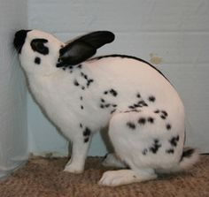 English Spot English Spot Rabbit, Bunny, Animals, Cute Bunny, Animales, Animaux, Animal, Rabbit, Animais