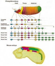 Evolutionary developmental biology - Wikipedia
