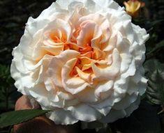 Comtessa - Garden Rose - Roses - Flowers by category | Sierra Flower Finder