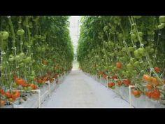7 Reasons Why You Should Consider Hydroponics Farming System – Medium Home Hydroponics, Hydroponic Farming, Hydroponic Growing, Tomato Farming, Aquaponics Plants, Greenhouse Farming, Greenhouse Growing, Farming System, Aquaponics System