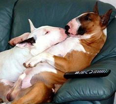 """To heck with TV, let's smooch!"" #dogs #pets #BullTerriers Facebook.com/sodoggonefunny"