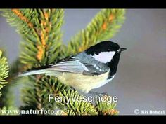 The Coal Tit is cm in length, and has a distinctive large white nape… Coal Tit, Wildlife Day, Felt Birds, Bird Tree, Small Birds, Animals Beautiful, Life Is Good, Nature, Animaux