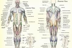 Muscle Anatomy Muscles Body Labeled in Muscles