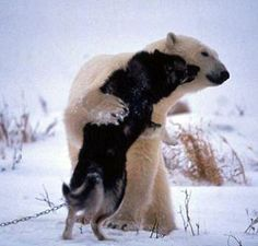 wild polar bears pass through every fall and play with the dogs, until the ice freezes over