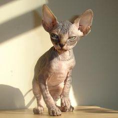 love hairless cats!