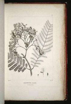 29591 Jacaranda obtusifolia Bonpl. / Humboldt, F.H.A. von, Bonpland, A., Plantes equinoxiales , vol. 1: t. 18 (1808)
