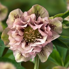 In full bloom lenten rose aka helleborus ''Double Ellen Spotted Pink'. Shade Garden, Garden Plants, Nature Plants, Flowers Nature, Lenten Rose, Sea Holly, Pink Photo, Deco Floral, Shade Plants