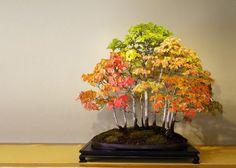arvores bonsai 20