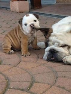 The major breeds of bulldogs are English bulldog, American bulldog, and French bulldog. The bulldog has a broad shoulder which matches with the head. The skin o Cute Bulldog Puppies, Cute Bulldogs, Dogs And Puppies, Doggies, Baby Bulldogs, Funny Bulldog, 15 Dogs, Terrier Puppies, Corgi Puppies