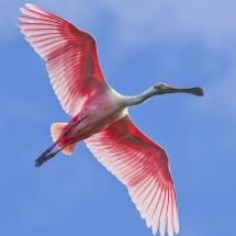 Roseate Spoonbill in flight; Posted by: zap