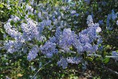 red root,deerbrush,american tea,shrub-heirloom - untreated - sustainable - vegetable seeds - Bountiful Gardens