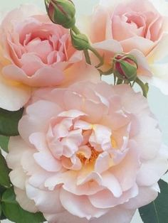 Belle Storey Roses Photographic Print by Clay Perry Love Rose, My Flower, Pretty Flowers, Cactus Flower, Beautiful Roses, Beautiful Gardens, Simply Beautiful, Pink Roses, Pink Flowers