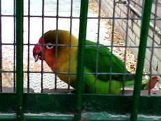 Parrot eating dried fruits. Loro comiendo frutos secos.