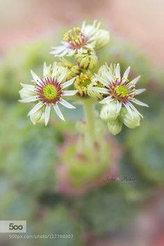 Sempervivum ruthenicum by JackyParker. Please Like http://fb.me/go4photos and…