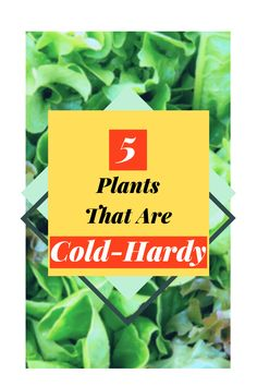 Cold season? Grow these 5 cold-hardy plants even after last frost! One of them even benefits from the cold! Follow The Blossoming Gardener on Instagram @/theblossominggardener! #theblossominggardener #gardenblog #blog #gardening #growyourownfood #plants #gardeningforbeginners #balconygardening #kale #swisschard #radish #lettuce #cilantro
