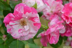 Les Journées de la Rose à l'Abbaye de Chaalis par radis rose http://radisrose.fr/cake-rhubarbe-gingembre/ #Chaalis #rose #fleur