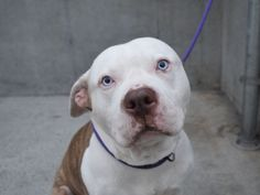SUPER URGENT- ROOGER - A1080298 - Brooklyn - Publicly Adoptable TO BE DESTROYED 07/18/16 **ON PUBLIC LIST** A volunteer writes: ROOGER! Not only does this guy have the prettiest blue eyes on that big handsome head of his, he also has the softest personality! He is very quiet in his cage, but when I take him out I can tell how excited he is because he will rub against me like a cat as we make our way outside. We're told he is housebroken (he seems it!), has a high activity level and is very…