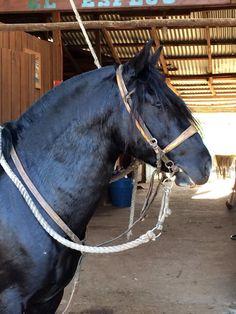 Purebred Chilean Horse .Caballo chileno de Pura Raza