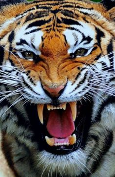 There are 6 species of Tiger on earth. ~ Bengal tiger (P. tigris) Indo-Chinese tiger (P. corbetti) Malayan tiger (P. malayensis) Siberian or Amur tiger (P. altaica) South China tiger (P. amoyensis) Sumatran tiger (P. Siberian Tiger, Bengal Tiger, Tiger Pictures, Animal Pictures, Majestic Animals, Animals Beautiful, Tigers Live, Animals And Pets, Cute Animals