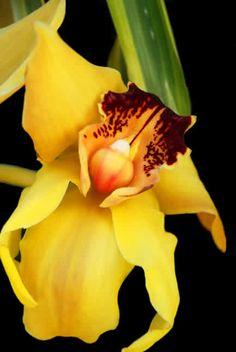 Esta orquidea amarilla para @Tutu Domínguez porque es su color favorito y viernes, #FF.