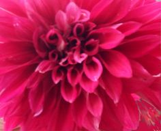 Dahlia Festival.  Photo taken by Susie Sawyer