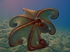 """Octopus ~ Mik's Pics """"Sea Life l"""" board Underwater Creatures, Underwater Life, Ocean Creatures, All Gods Creatures, Life Under The Sea, Under The Ocean, Sea And Ocean, Kraken, Sea Photo"""