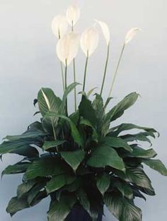 Peace Lily, hardy plant for cool, shady indoor spaces