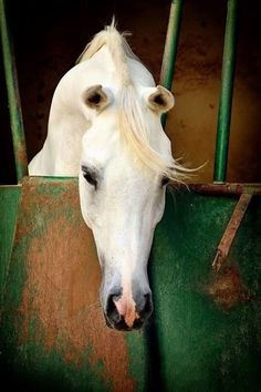 Horses are the most beautiful creatures on earth. Most Beautiful Animals, Beautiful Horses, Beautiful Creatures, Zebras, Majestic Horse, All The Pretty Horses, Clydesdale, Tier Fotos, White Horses