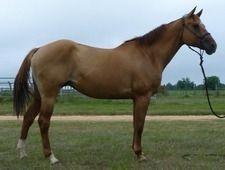 Destiny - Sweet, Stocky QH - Mare Quarter Horse for sale in Cordele, Georgia :: HorseClicks