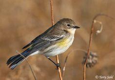 Yellow-rumped Warbler | Yellow-rumped Warbler - Dendroica coronata